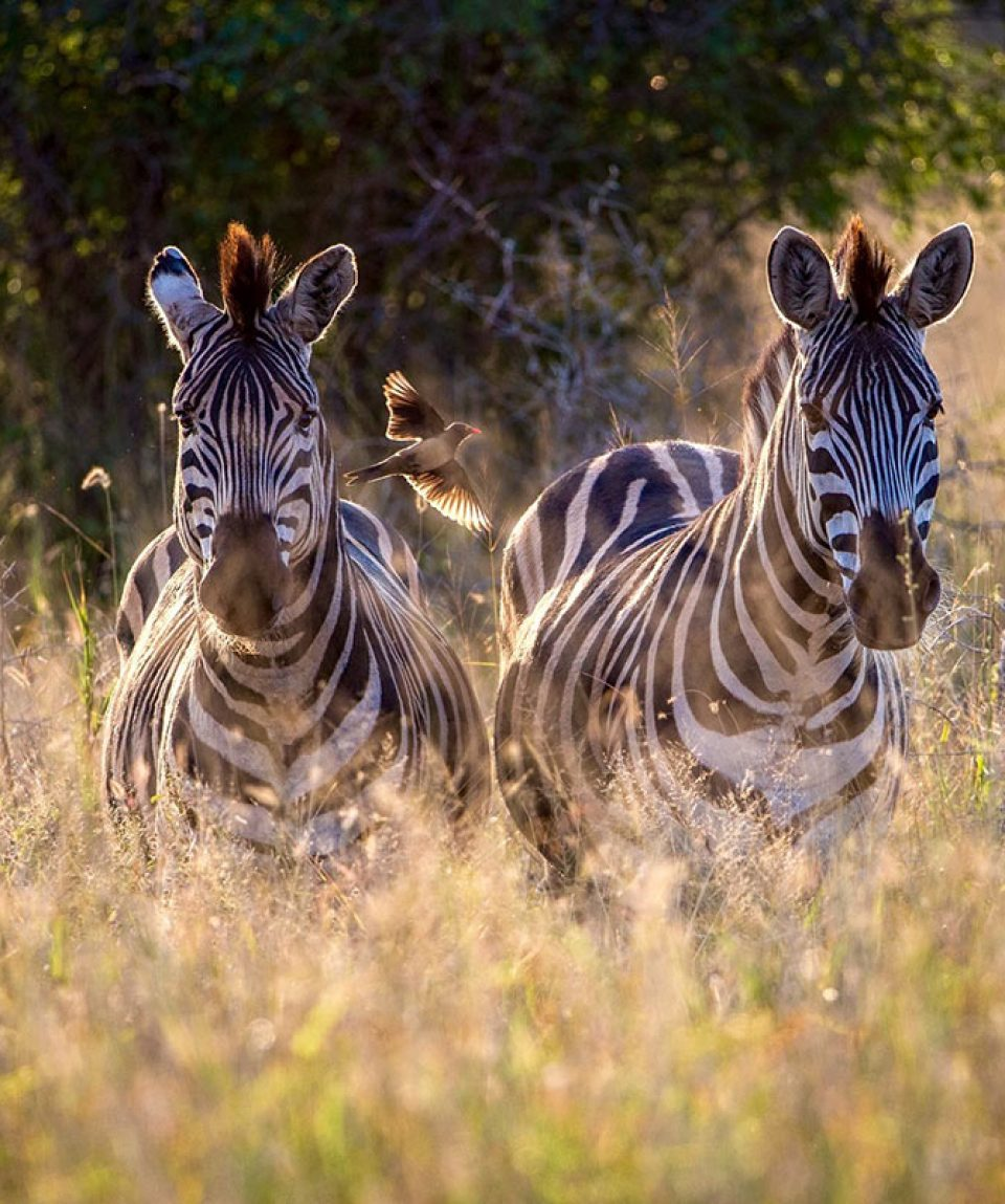 zebras-in-sunlight-Claudia-Schnell