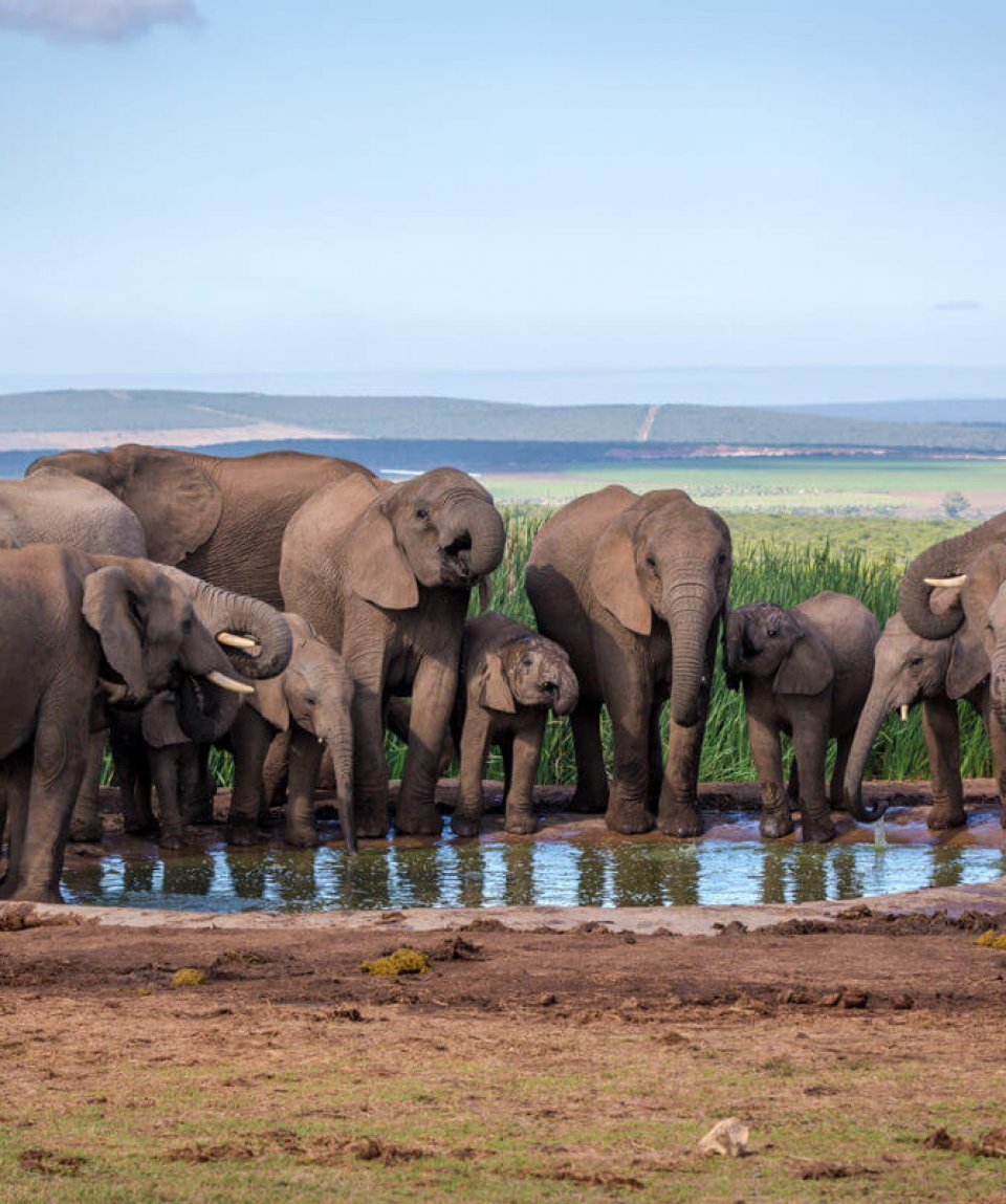 Big group of elephants in Addo National Park, South Africa.