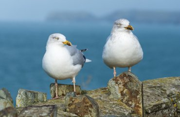 A pair of young seagulls posing on a wall against a defocused ba