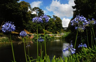 View of Trebah garden, Cornwall, through hydrangeas from Mallard Pond