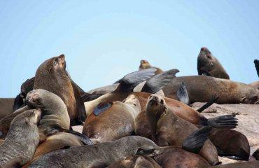 Ohrenrobben Südafrika - ClaraNila fotolia