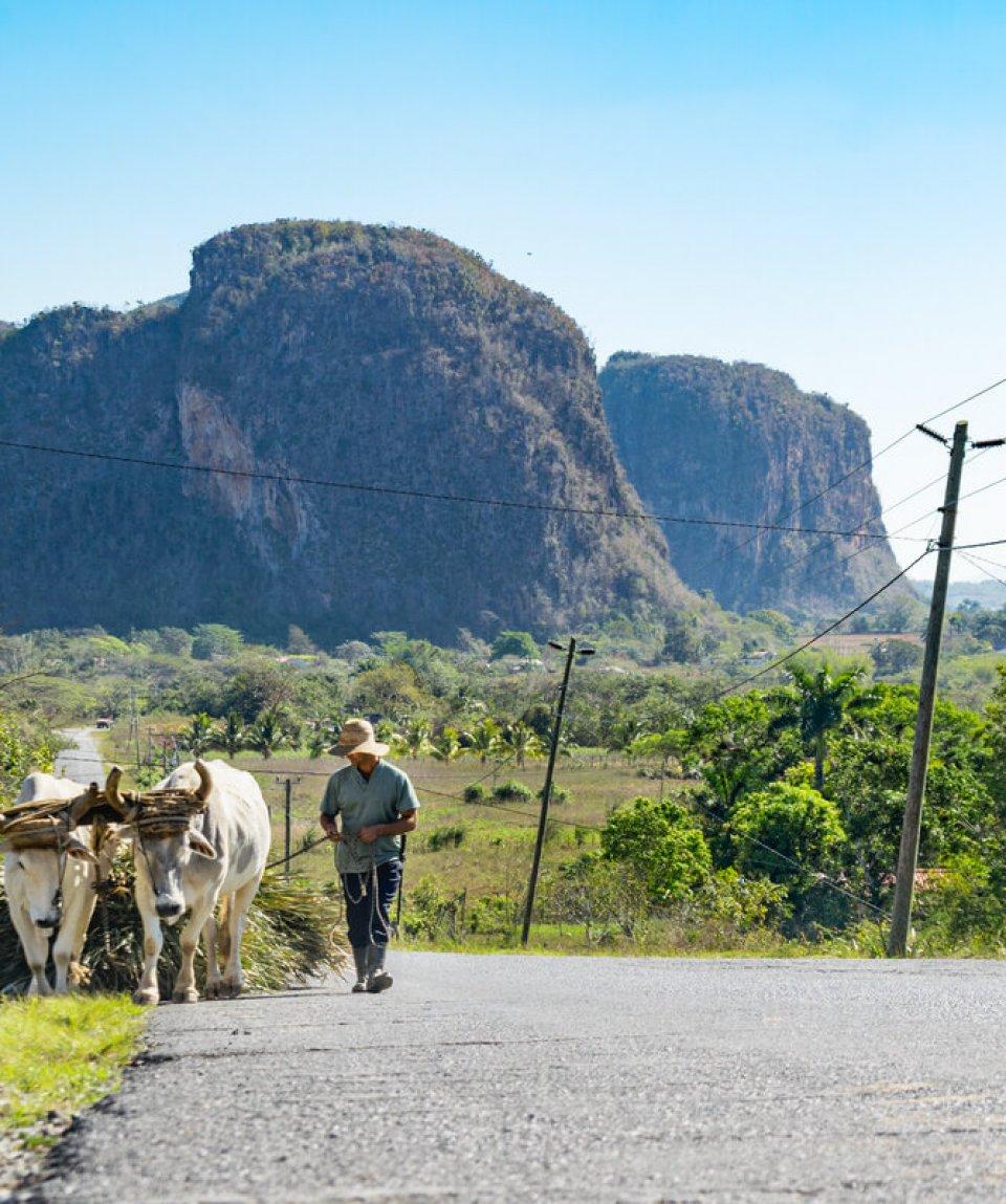 traditionelles Ochsen Gespann im Vinales Tal in Kuba