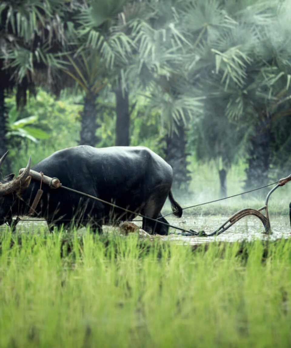 Rice farming with buffalo in thailand