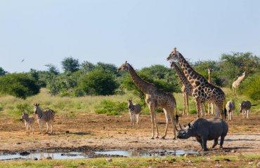 Spitzmaulnashorn am Wasserloch mit Giraffen und Zebras - Andreas Huber