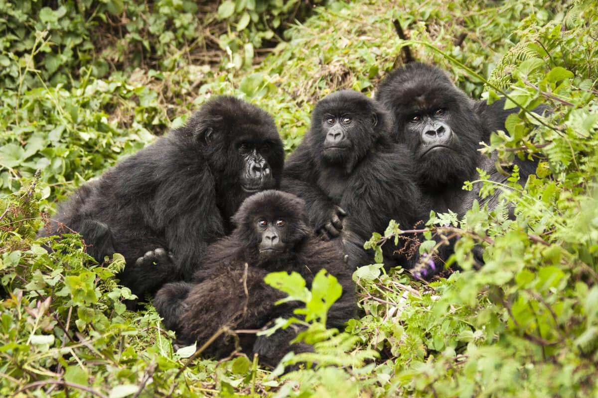 shutterstock 244333651 - Höhepunkte Ruandas
