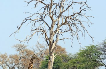 Common Giraffe (Giraffa Camelopardalis) standing next to a bare