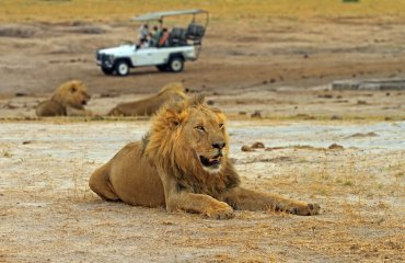 Male Lion  (Leo Panthera) resting on the African plains with a s