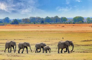 Elefantan im Luangwa NP