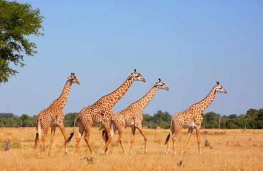 Giraffe Thornicrof Sambia endemisch