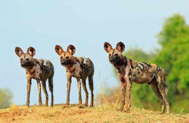 Wild Dogs Luangwa
