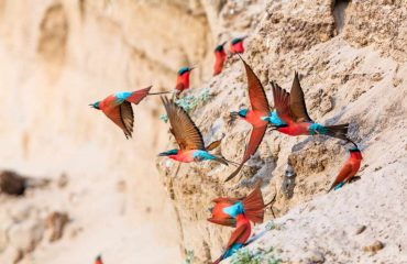 carmine bee-eaters_south luangwa