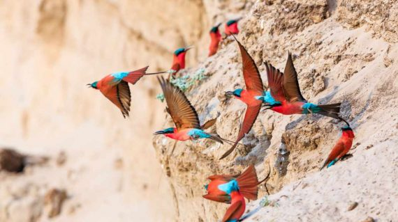 carmine bee-eaters_south luangwa