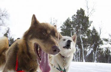 fredrik_broman-sled_dogs-445