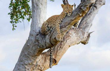 leopard_luangwa